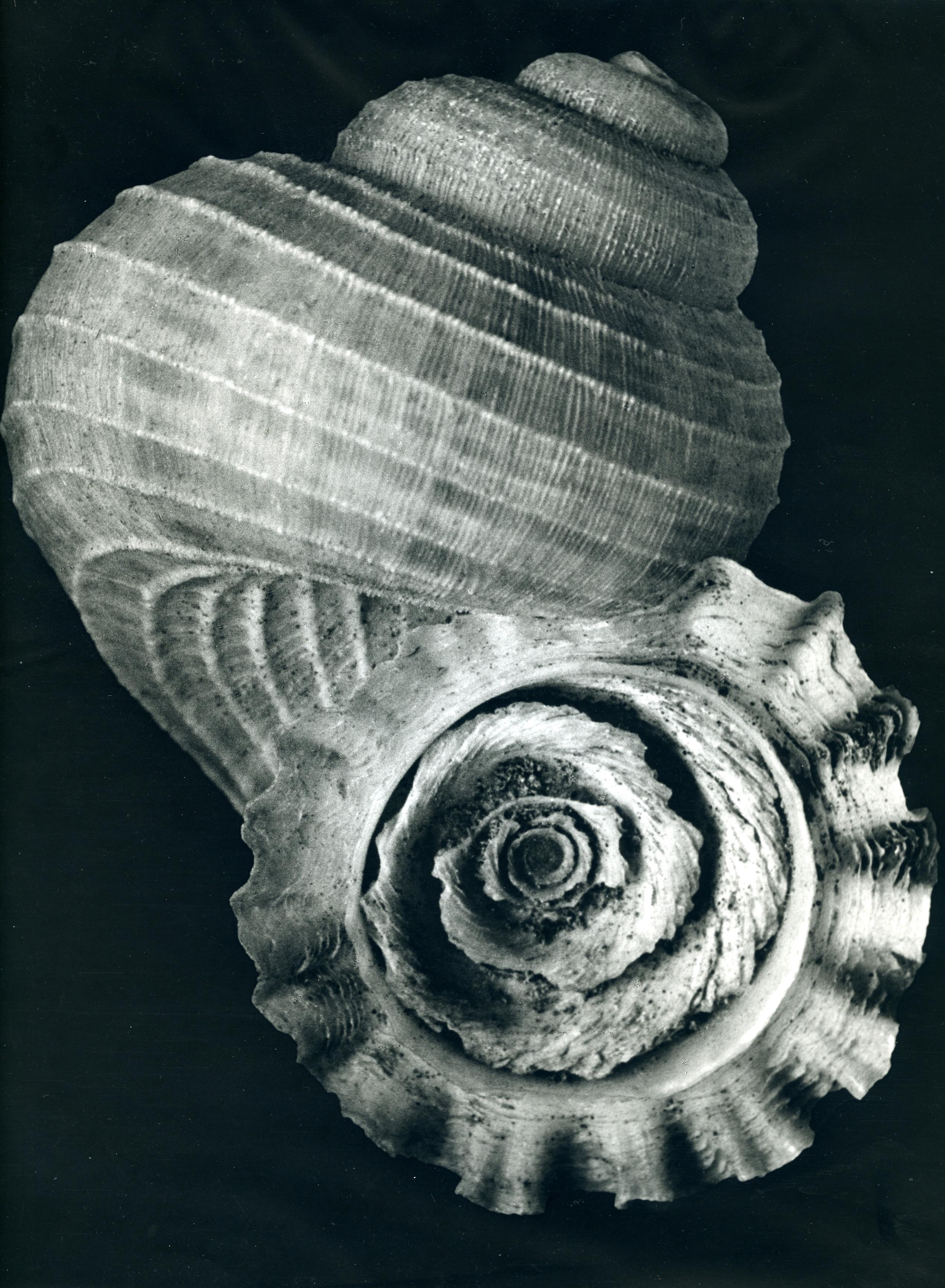 Fasciolariidae, Pleuroploca trapezium, Spindelschnecke